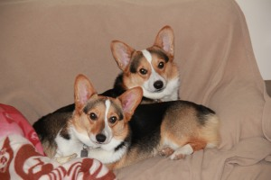 "The corgis in ""civilized mode"""