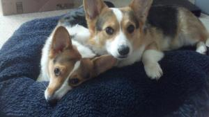 corgis in bed