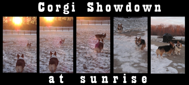 corgi-showdown-at-sunrise