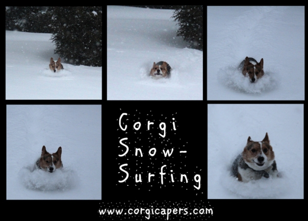 corgi-snow-surfing