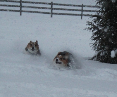 corgi action shot
