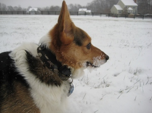 corgi-snoweating
