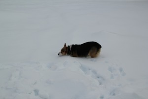 corgi_snowfalling