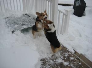 corgi_snowfight