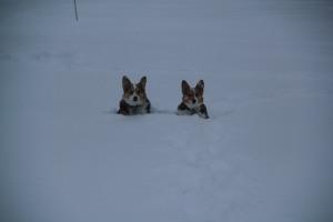 corgi_snowsitting