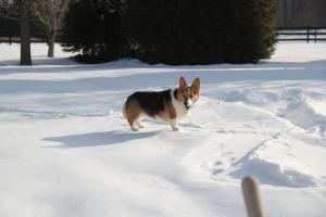 corgi_snowstanding