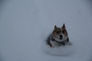 corgi_snowsurfing