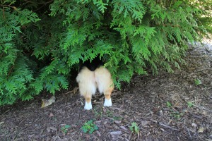 This is me sneaking under the pine trees, where I'm pretty sure a family of skunks live. They haven't sprayed me yet, and I don't know why my person always yells at me when she catches me here.