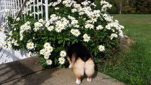 What story might be inspired by this little corgi butt and its obsession with whatever lives under the daisies?