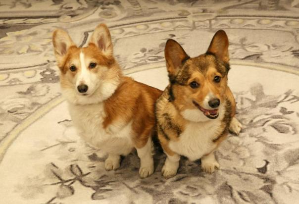 Photo credit and article: https://corgicapers.files.wordpress.com/2015/09/2-corgis-on-broadway.jpg