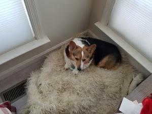 Corgi on soft carpet
